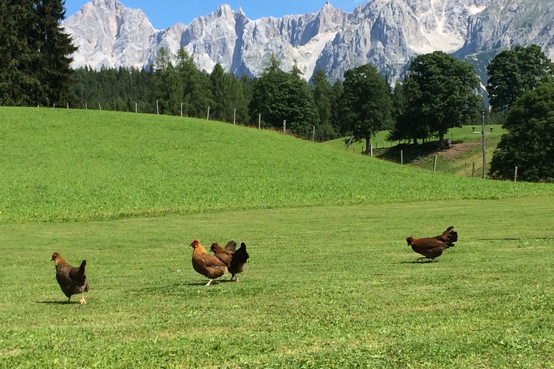 Hühner hinterm Haus